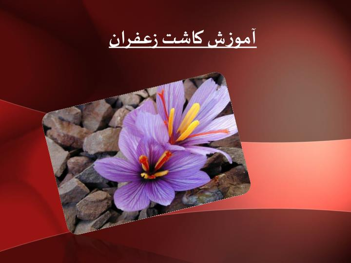 آموزش کاشت زعفران