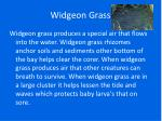 widgeon grass