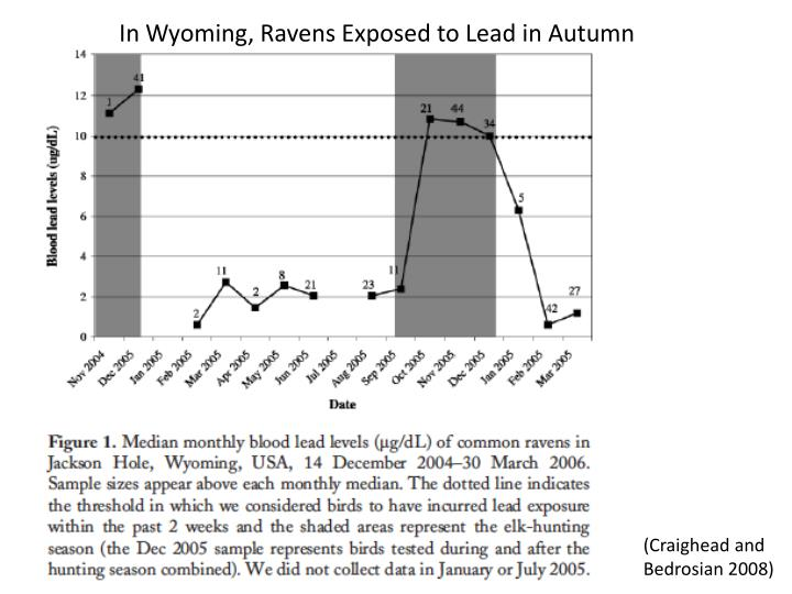 In Wyoming, Ravens Exposed to Lead in Autumn