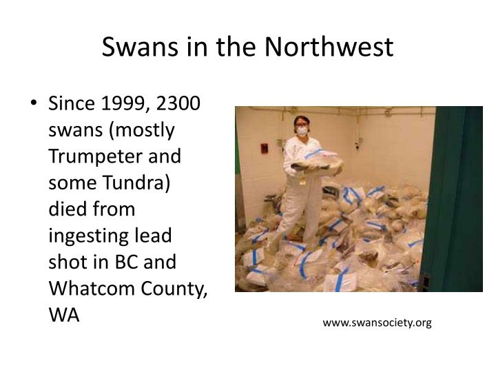 Swans in the Northwest