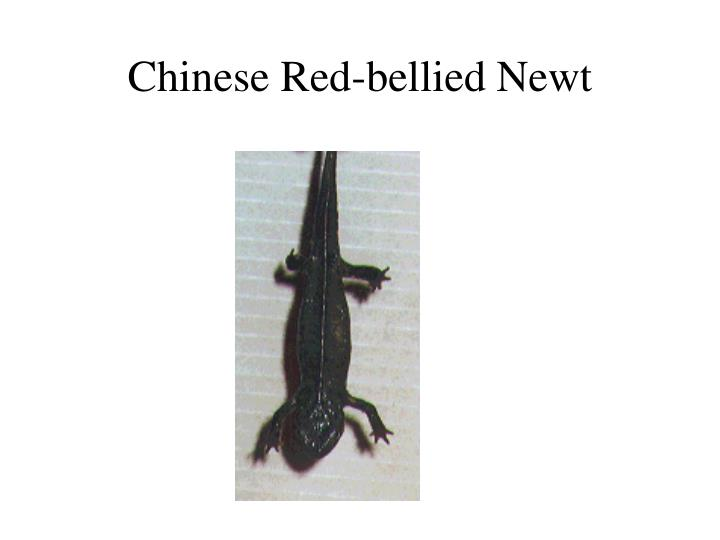 Chinese Red-bellied Newt