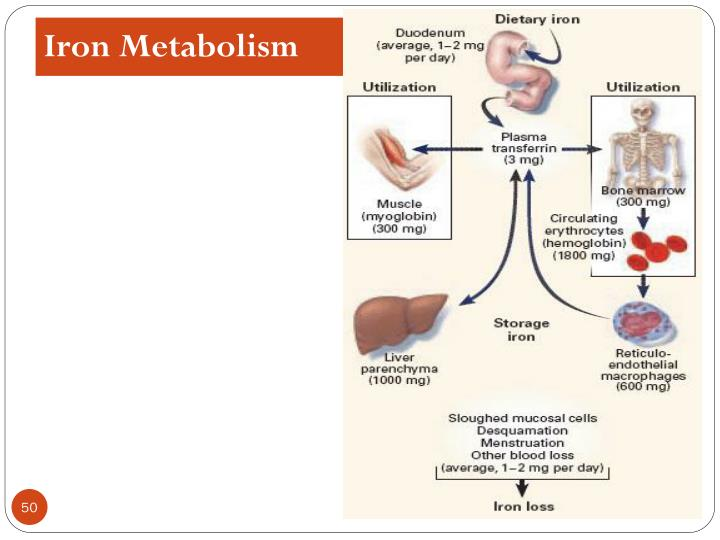 Iron Metabolism
