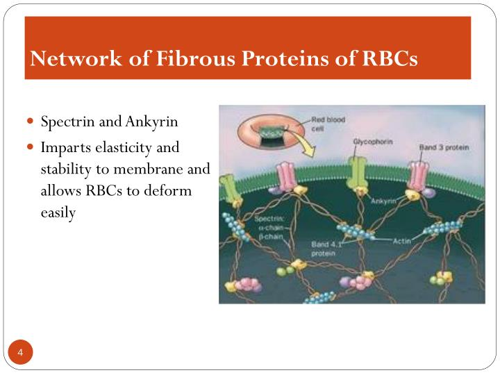 Network of Fibrous Proteins of RBCs
