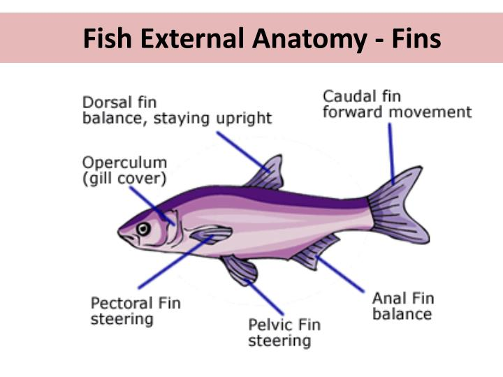 External Anatomy Of A Fish Image collections - human body anatomy