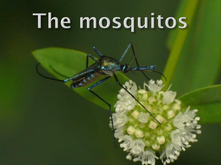 Ppt the mosquitos powerpoint presentation id2258929 the mosquitos toneelgroepblik Gallery