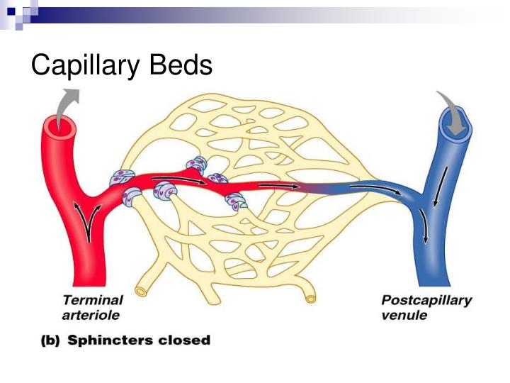 Capillary Beds