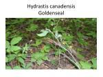 hydrastis canadensis goldenseal