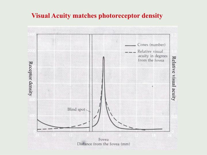 Visual Acuity matches photoreceptor density
