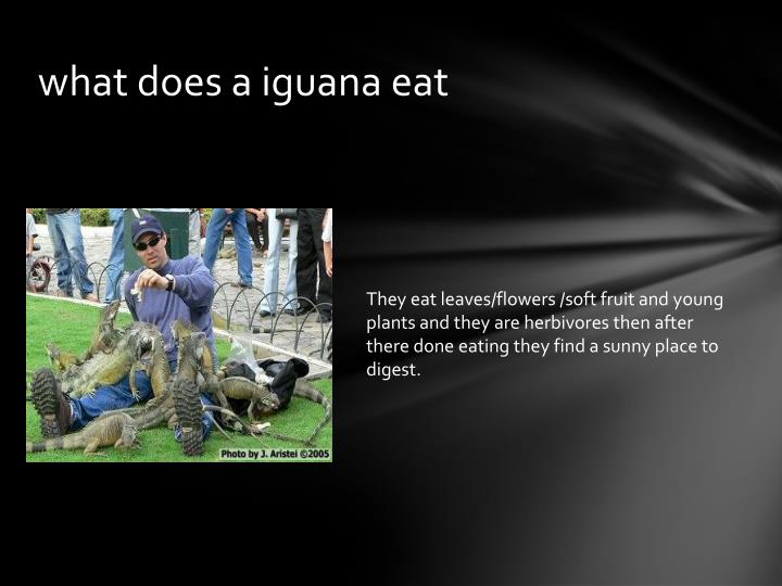 what does a iguana eat