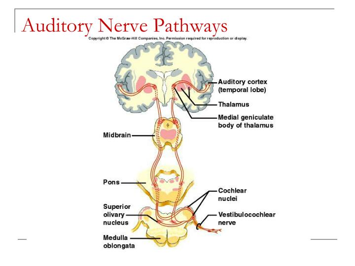 Auditory Nerve Pathways