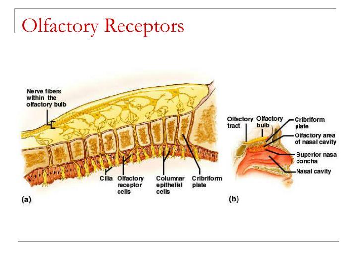 Olfactory Receptors