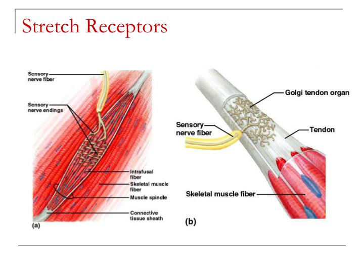 Stretch Receptors