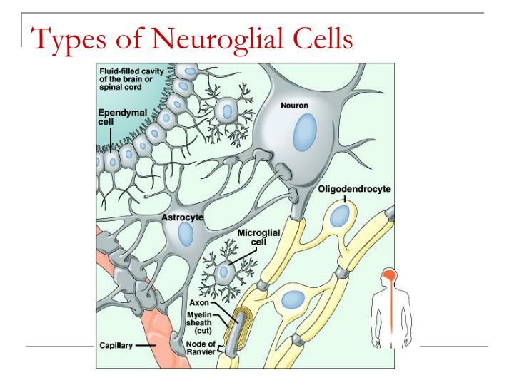 Types of Neuroglial Cells