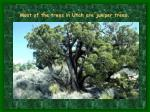 most of the trees in utah are juniper trees