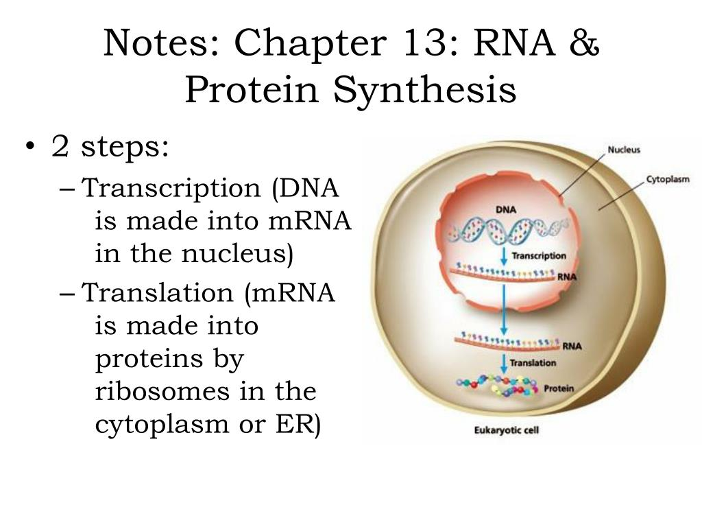 PPT - Notes: Chapter 13: RNA & Protein Synthesis ...