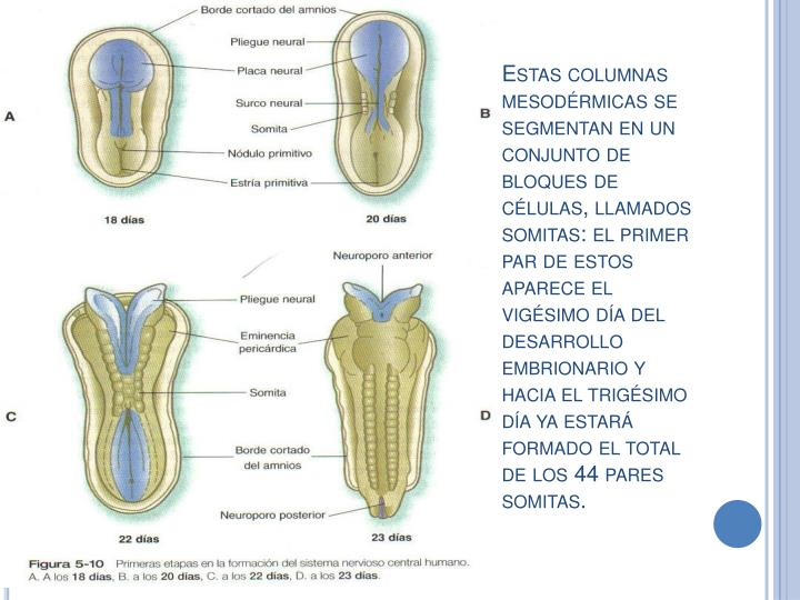 Estas columnas mesodérmicas se segmentan en un conjunto de bloques de células, llamados somitas: el primer par de estos aparece el vigésimo día del desarrollo embrionario y hacia el trigésimo día ya estará formado el total de los 44 pares somitas.