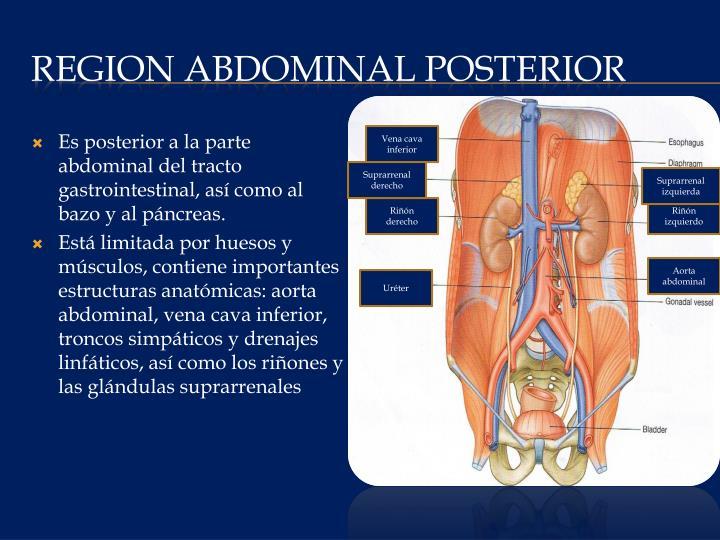 PPT - REGION ABDOMINAL POSTERIOR PowerPoint Presentation - ID:2266613