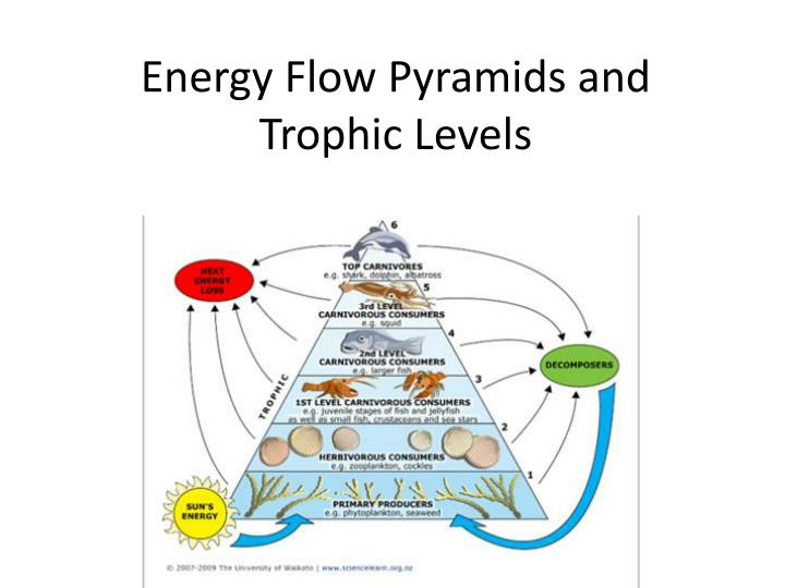 energy flow pyramids and trophic levels n.