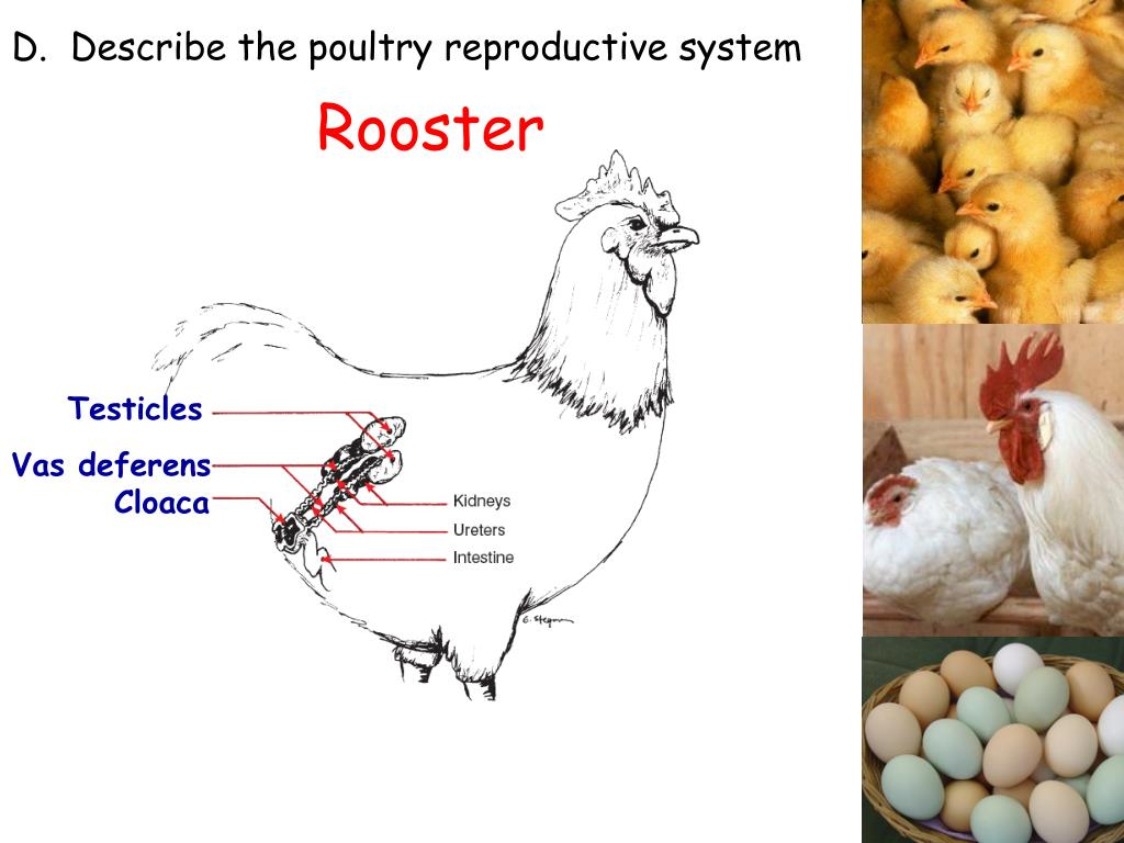 PPT - Poultry Production PowerPoint Presentation - ID:2267254