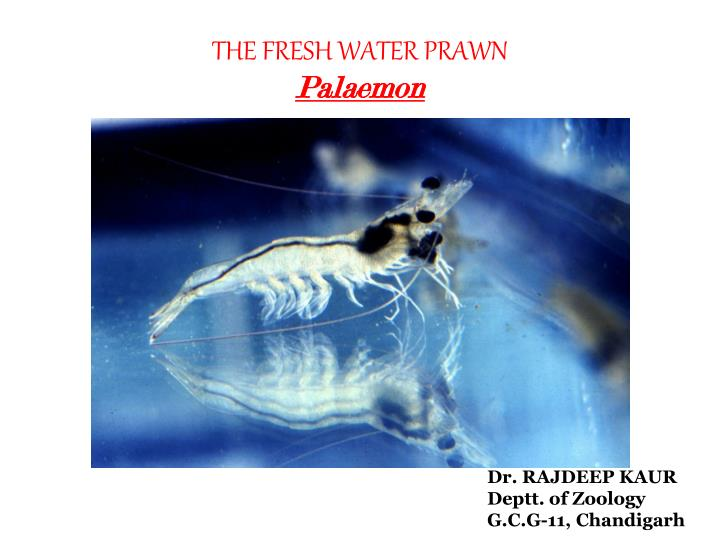 the fresh water prawn palaemon n.