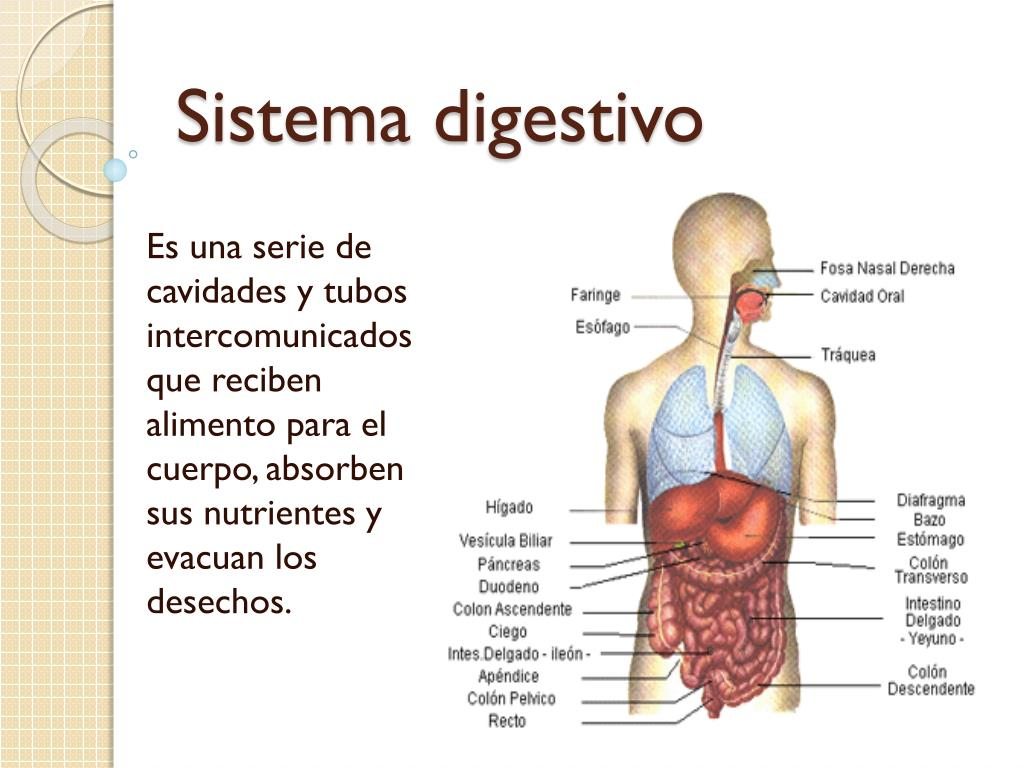 PPT - Sistema digestivo PowerPoint Presentation - ID:2267748