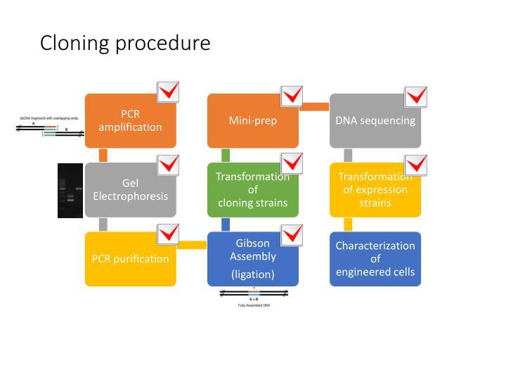 Cloning procedure