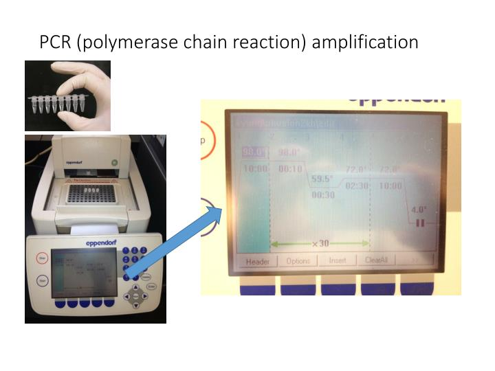 PCR (polymerase chain reaction) amplification
