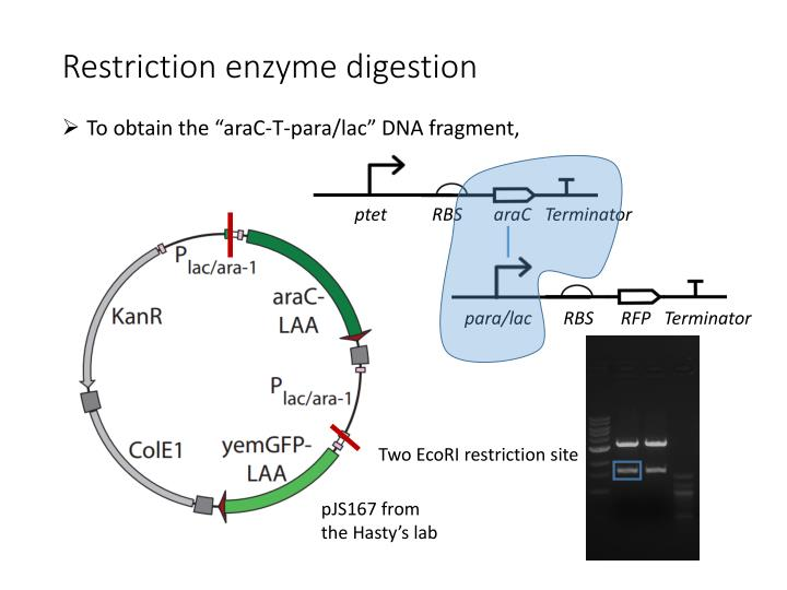 Restriction enzyme digestion