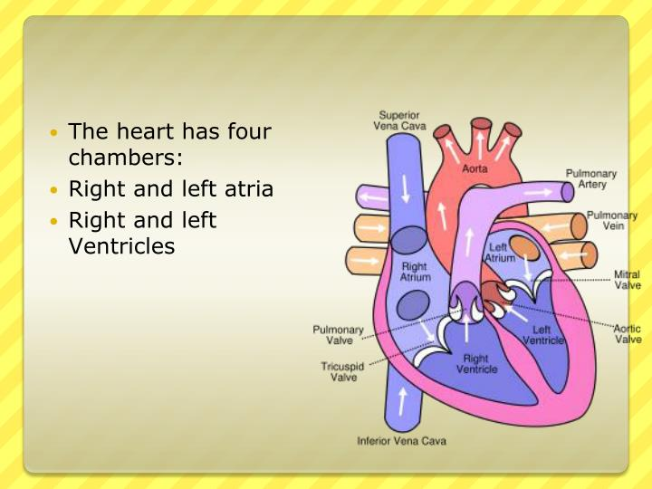 The heart has four chambers: