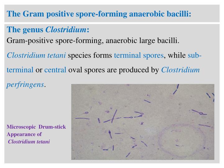 The Gram positive spore-forming anaerobic bacilli:
