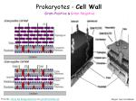 prokaryotes cell wall gram positive gram negative