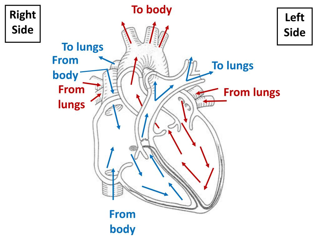 what body system removes carbon dioxide from the blood