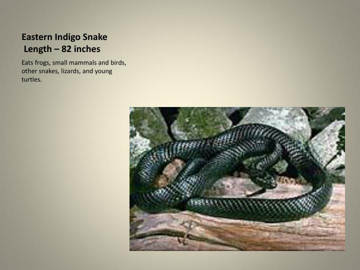 Eastern indigo snake length 82 inches