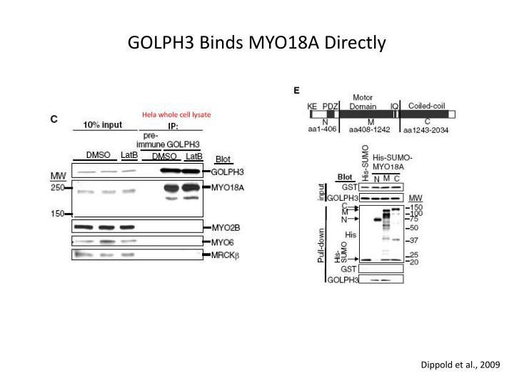 GOLPH3 Binds MYO18A Directly