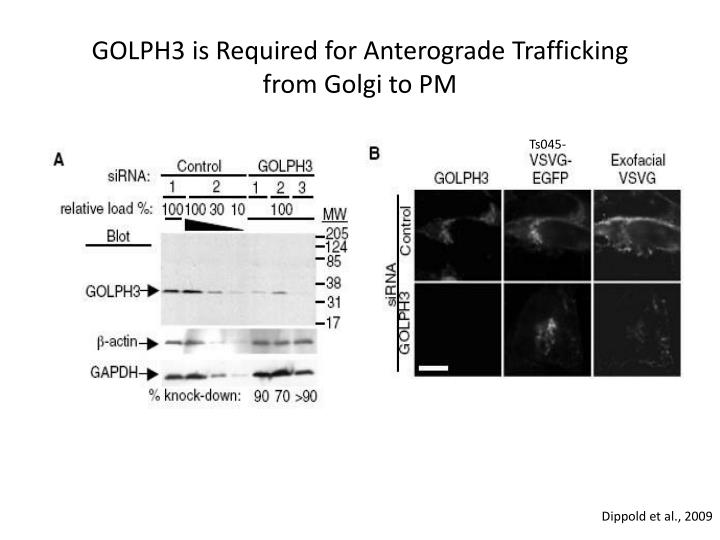 GOLPH3 is Required for
