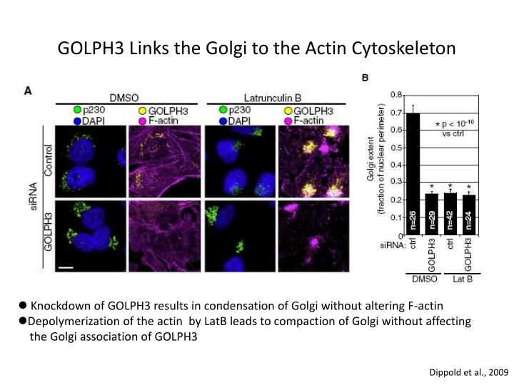GOLPH3 Links the Golgi to the
