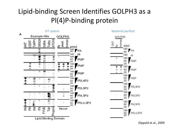 Lipid-binding Screen Identifies GOLPH3 as a Pl(4)P-binding protein