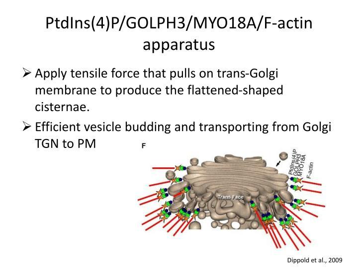 Ptdins 4 p golph3 myo18a f actin apparatus
