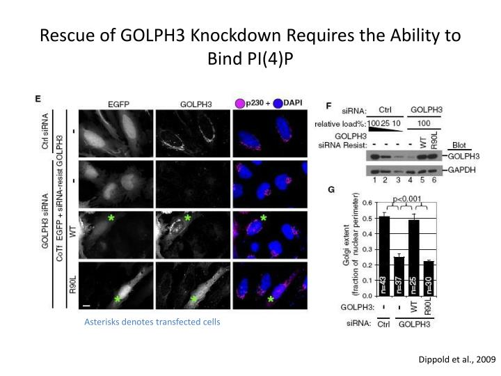 Rescue of GOLPH3 Knockdown Requires the Ability to Bind PI(4)P