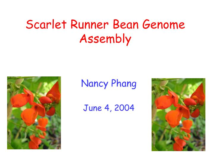 scarlet runner bean genome assembly n.
