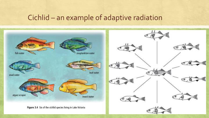 Cichlid – an example of adaptive radiation