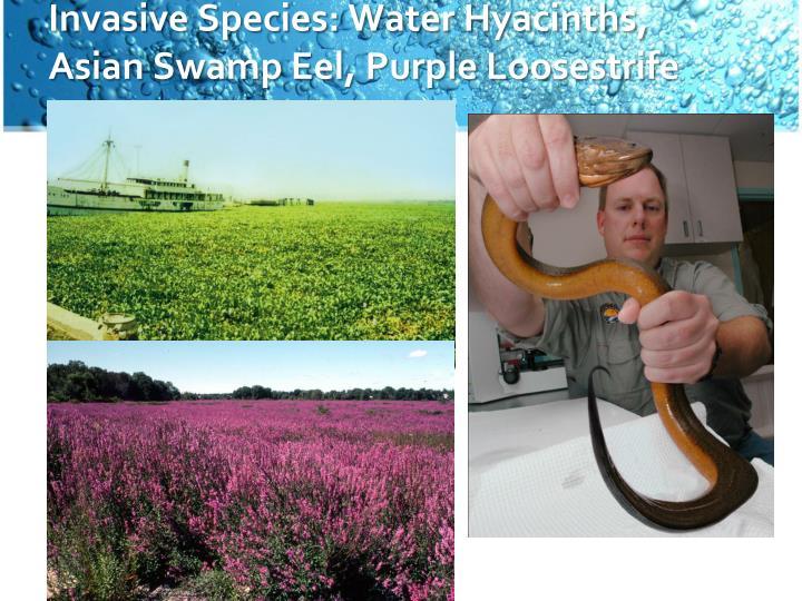 Invasive Species: Water Hyacinths, Asian Swamp Eel, Purple Loosestrife