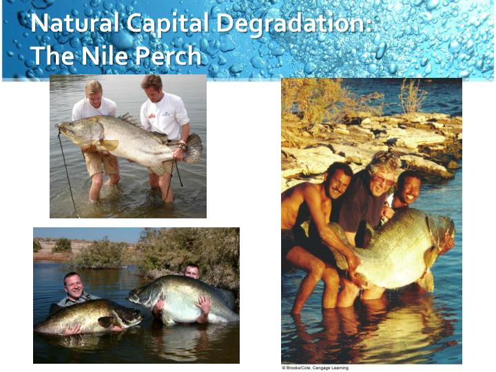 Natural capital degradation the nile perch