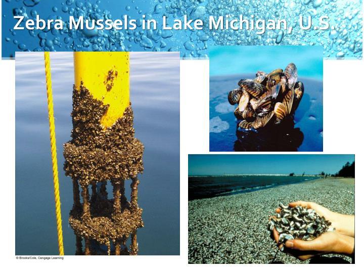 Zebra Mussels in Lake Michigan, U.S.