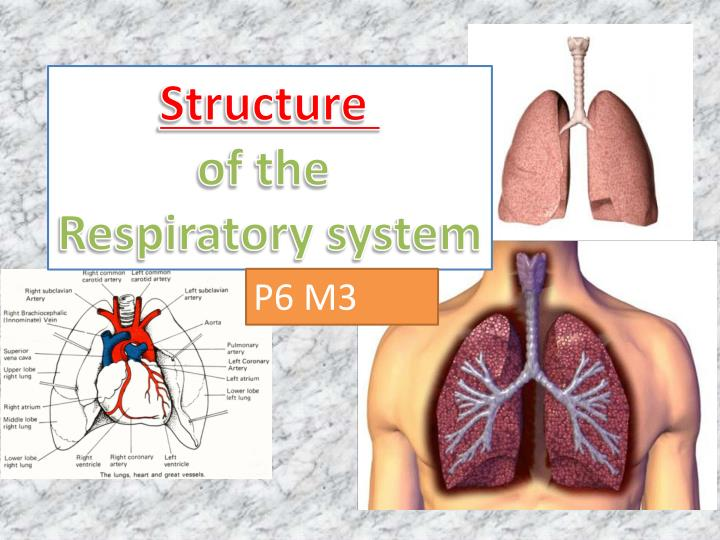 Ppt Structure Of The Respiratory System Powerpoint Presentation
