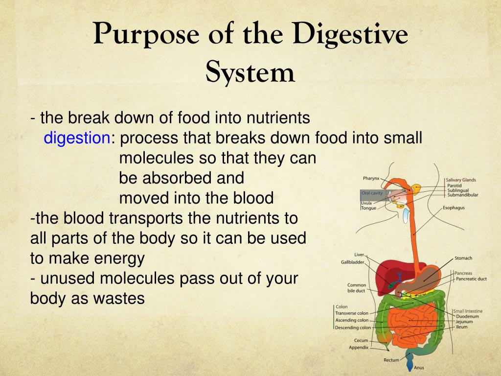 Ppt Purpose Of The Digestive System Powerpoint Presentation Id