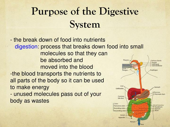 purpose of the digestive system n.