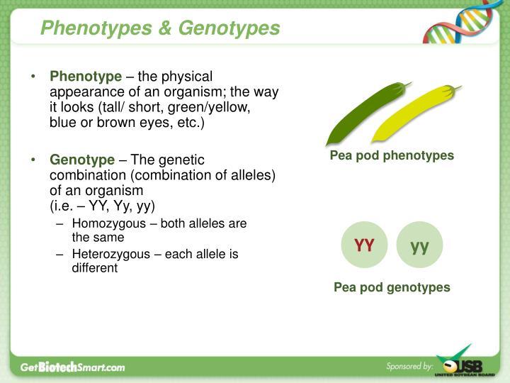 Phenotypes & Genotypes