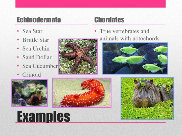 Ppt Echinoderms And Chordates Powerpoint Presentation Id2276067