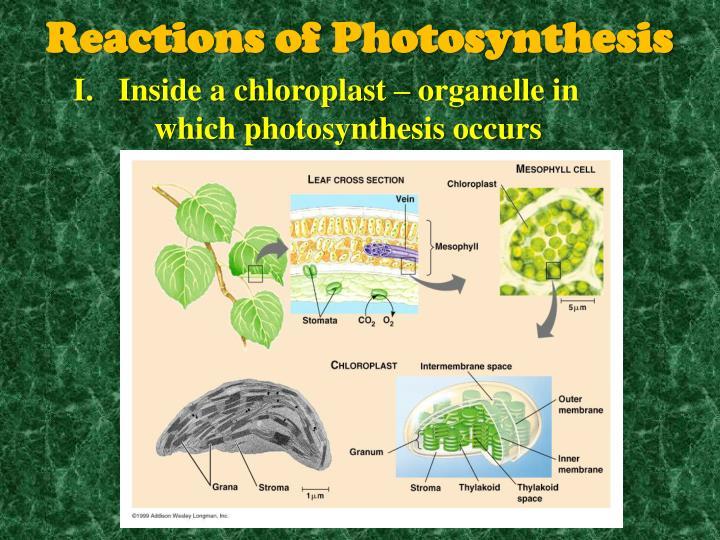 Inside a chloroplast – organelle in